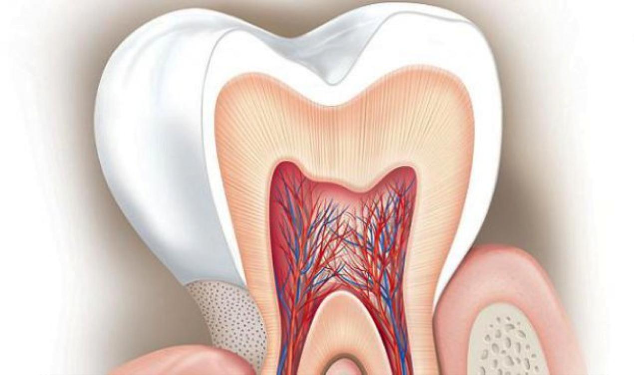 На фото здоровый зуб в разрезе